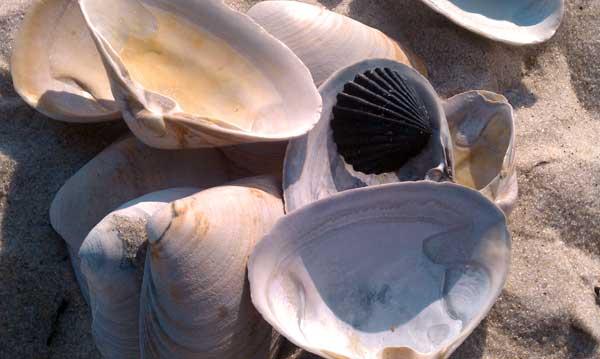 Seashells at Jones Beach, NY