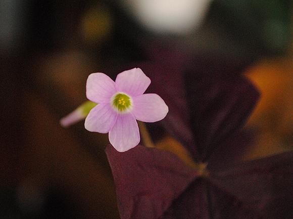 Shamrock Wine Flower