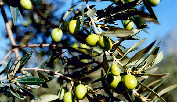 Appetizing Thoughts: Demystifying Olive Oil